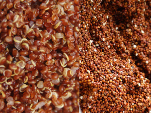 červená quinoa