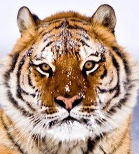 handsome-tiger